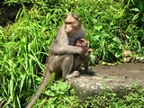 Mother's love - monkey and little monkey